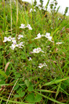 Eygnagras / Euphrasia officinalis sp.