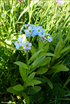 Skriðhoylús (Myosotis secunda) A. Murray (M. repens Don)