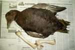Eider / Somateria mollissima faeroeensis with the remains of a dried sheep's leg around the neck
