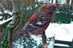 Two-Barred Crossbill / Loxia leucoptera