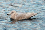 Iceland Gull / Larus glaucoides