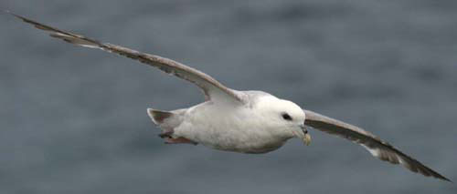 Old Fulmar. Photo: Van Franeker/Alterra.