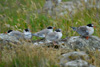 Fledged Arctic tern chicks, too starved to fly.