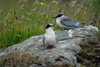Hungry Arctic tern chick calling on the parents.