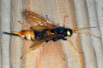 Horntail / Urocerus gigas