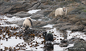 Sheep eating seaweed to get salt and iodine