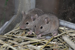 Mouse / Mus domesticus