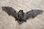 Parti-Coloured Bat / Vespertilio murinus