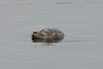 Harbour seal Phoca vitulina