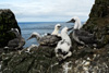 "White gannet chicks called ""ompil"" on Flatidrangur, Mykines"