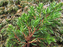 Baraldur / Juniperus communis alpine ♀