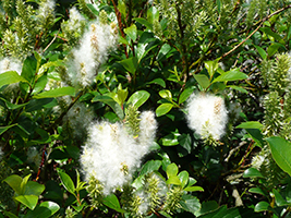 Tea-leaved Willow / Salix phylicifolia L.
